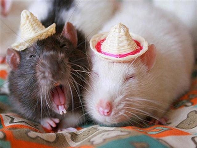 наверх умеют ли крысы смеяться термобелье Женская