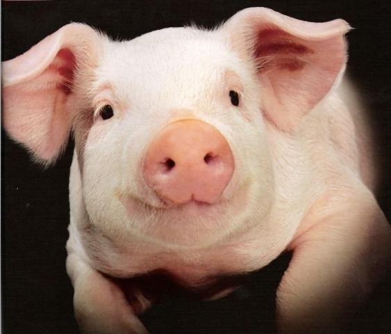 Человек с сердцем свиньи может появиться в скором будущем