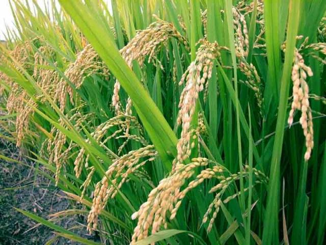 Кубанские аграрии приступили куборке риса