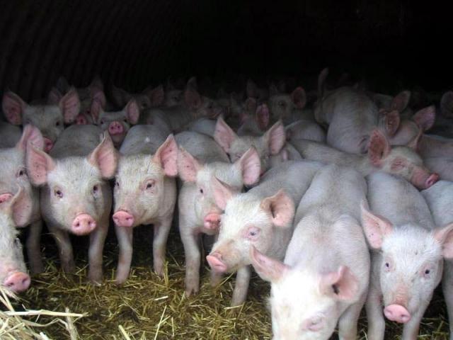 Очаг АЧС зафиксирован вКабардино-Балкарии натерритории свиноводческого комплекса