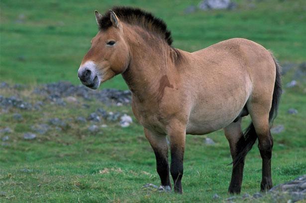 В Российскую Федерацию прибыли лошади Пржевальского изВенгрии