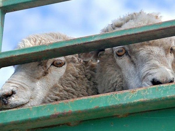 НаДону задержана отара овец без документов
