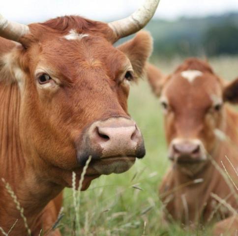 Власти Кубани: Животноводство в 2017 будет приоритетным направлением господдержки АПК