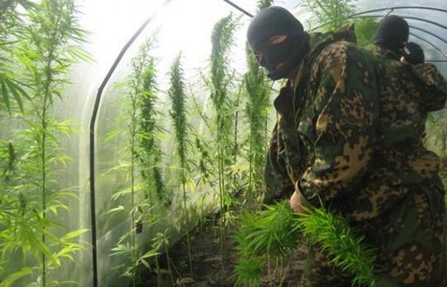 ВЕссентуках изъяли 2 куста марихуаны уместного жителя