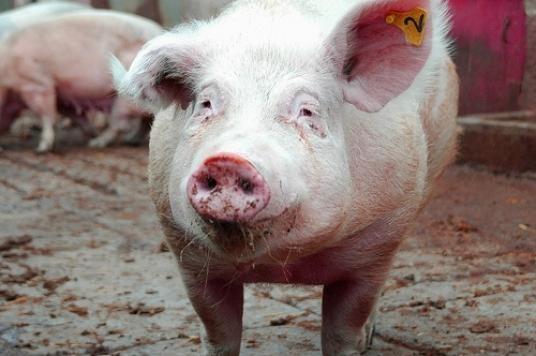 Массовая смерть свиней отафриканской чумы произошла вРостовской области