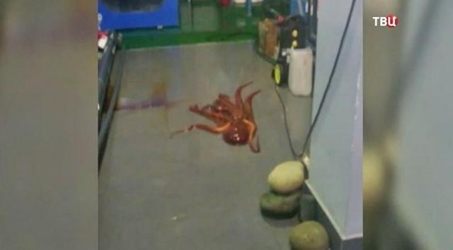 Огромный осьминог убежал изаквариума вПриморском океанариуме