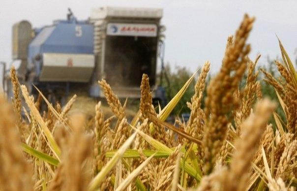 Минсельхоз Кубани: ВКраснодарском крае собрали первые 200 000 тонн риса