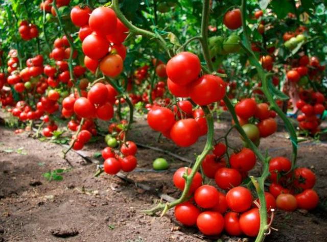 Кубань лидирует попроизводству тепличных овощей вРоссии