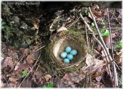 Alex Web Page - Птицы и гнезда1_002