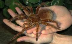 Бразильский биолог, сообщил, что пауки, падавшие с неба, относятся к виду.