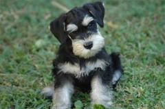 Miniature Schnauzer Puppies for Sale  Lancaster Puppies