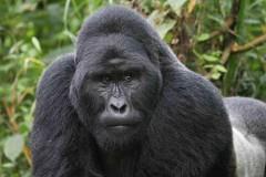 Танец гориллы из британского зоопарка покорил интернет-пользователей (видео)