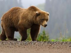 В Финляндии медведь сорвал учения, распугав 3 тысячи солдат