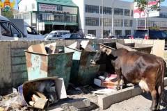 В Махачкале появились штрафстоянки для бродячих коров