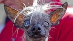 Самой уродливой собакой мира назвали 17-летнюю слепую чихуахуа