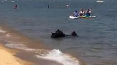В США семья медведей без стеснения искупалась на общественном пляже (видео)
