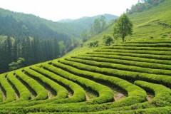 До 2020 года в Сочи будут вовлечены в оборот все чайные плантации