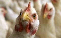 На Дону возникла угроза распространения гриппа птиц