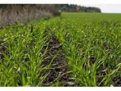 Кубанские аграрии приступили к весенней подкормке озимых