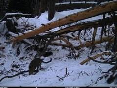 Камеры Кавказского заповедника зафиксировали самку переднеазиатского леопарда