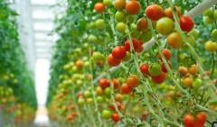 Ставрополье к 2020 году нарастит объем тепличных овощей в 2,7 раза