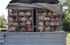 На Дону пресечена незаконная перевозка почти 2,5 тысяч ставропольских кур