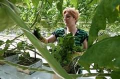Кубань стала лидером в России по объему производства тепличных овощей