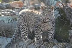В «Центре восстановления леопарда на Кавказе» вакцинировали пять переднеазиатских леопардов