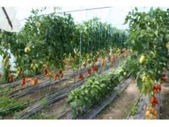В Краснодаре в малых формах хозяйствования приступили к посадке рассады в теплицах