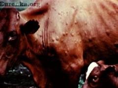 В Советском районе Дона выявлен бруцеллез крупного рогатого скота