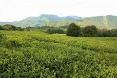 На Кубани создан первый чайный кооператив «Краснодарский чай»