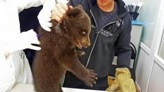 В Белой Калитве ветеринары чипировали двух бурых медвежат
