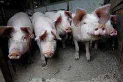 На Кубани в реконструкцию свиноводческой фермы инвестировали 150 млн рублей