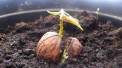 На Кубани открыли питомник орехоплодных культур