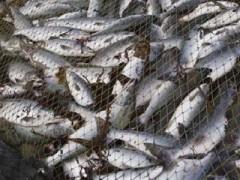 На Кубани пресечено несколько фактов незаконной добычи рыбы