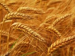 На Кубани озимый зерновой клин составляет 42%, или 1,5 млн га