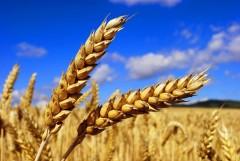 Россия увеличит объемы поставок пшеницы в Китай