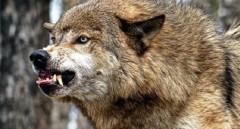 На Дону взбесившийся волк напал на человека