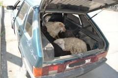 На Ставрополье задержаны подозреваемые в краже скота