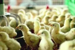 В Тамбовской области три работника птицефабрики погибли в коллекторе