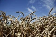 Кубань побила собственный рекорд по сбору зерна