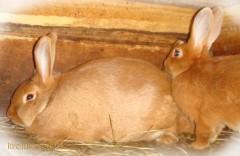 Житель Ставрополья украл 10 кроликов ценной породы