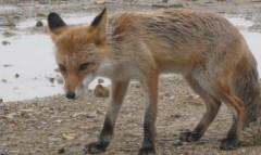 В Матвеево-Курганском районе донские ветврачи выявили бешенство у лисы