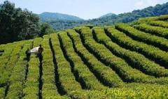 На Кубани урожай чая вырос на 18%