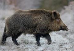 В Приморье браконьер «поймал» дикого кабана на электроудочку