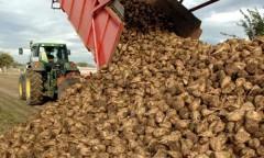 Производство свеклы на Кубани выросло на 8,8%