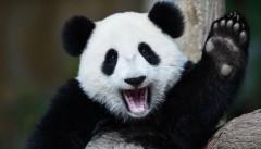 В Финляндию 18 января приедут панды, подаренные Си Цзиньпинем