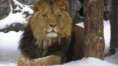 В Приморье лев напал на ребенка в зоопарке