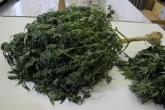 На Кубани у мужчины полицейские изъяли 10 кустов конопли