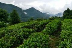 В Сочи идет уборка чайного листа